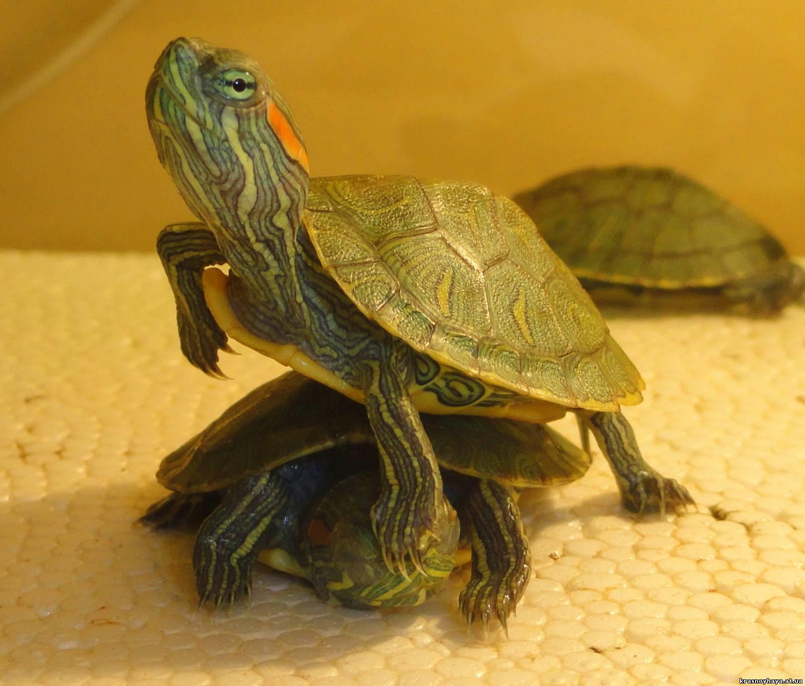 Уход и содержание водных черепах в домашних условиях