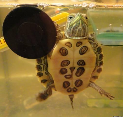 Видео про красноухих черепах