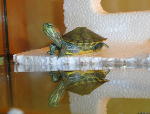 Как сделать сушу для красноухой черепахи фото