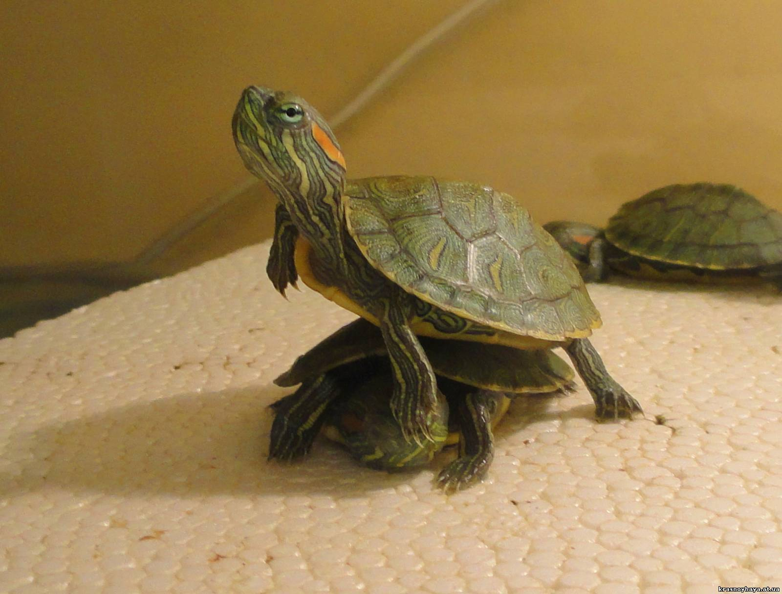 Содержание водной черепахи в домашних условиях 11