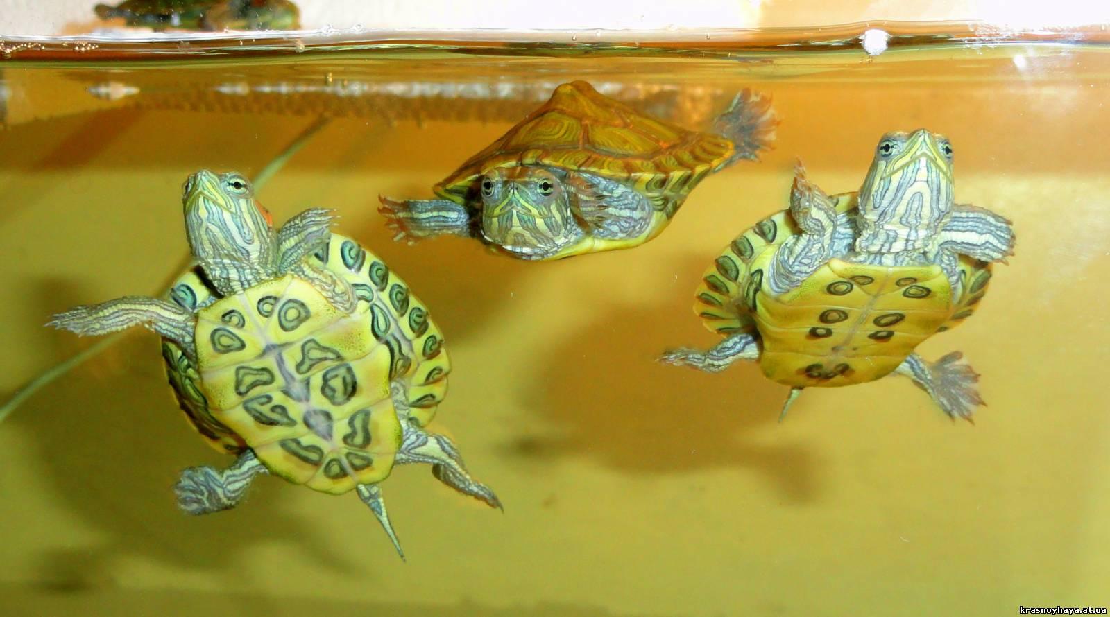 Содержание водной черепахи в домашних условиях 77