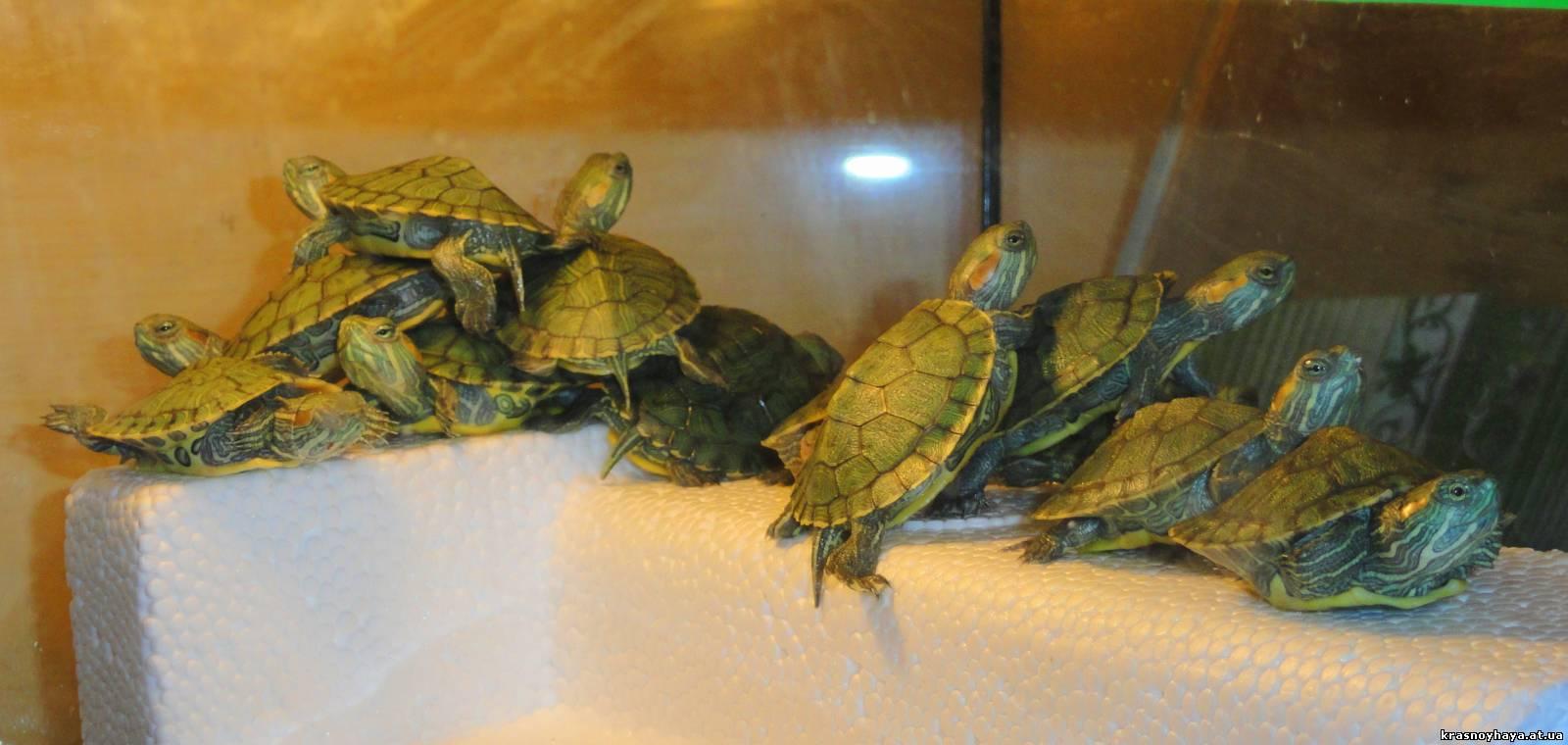 Содержание водной черепахи в домашних условиях 31