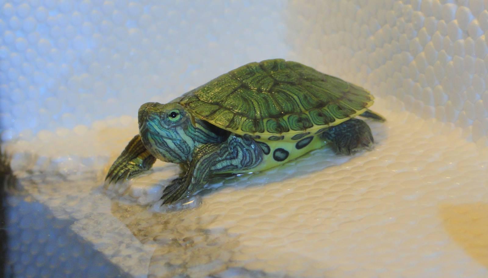 Фото с водяными черепахами в домашних условиях