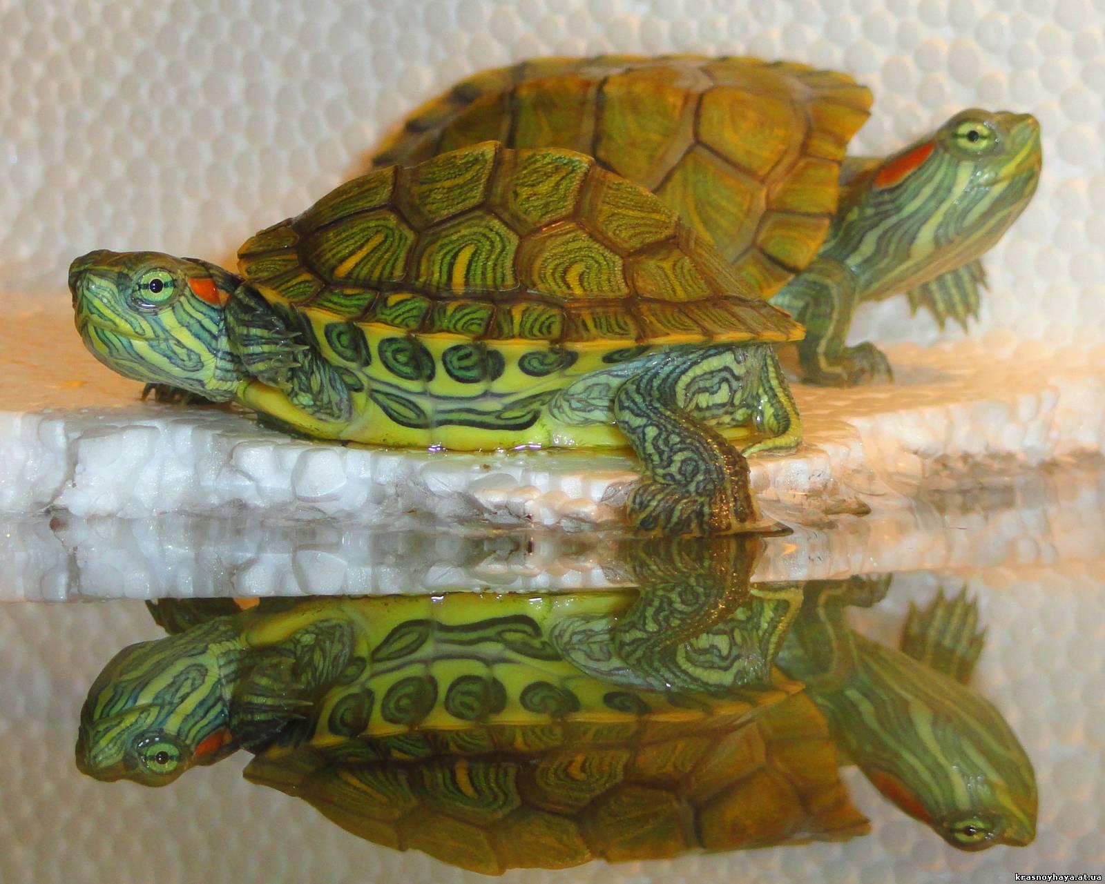 Размножение красноухих черепах в домашних условиях 44