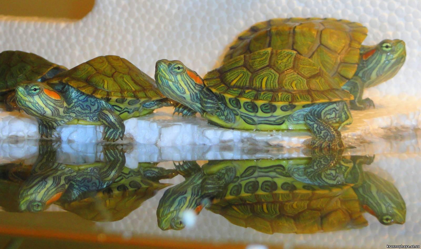 Красноухие черепахи уход в домашних условиях как  183